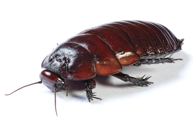 10*2 hamamböceği