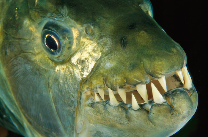dev kaplan balığı