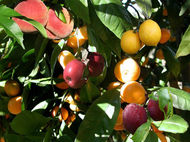 meyve salatası ağacı