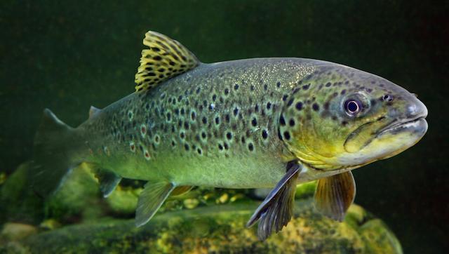 tatlısu balığı
