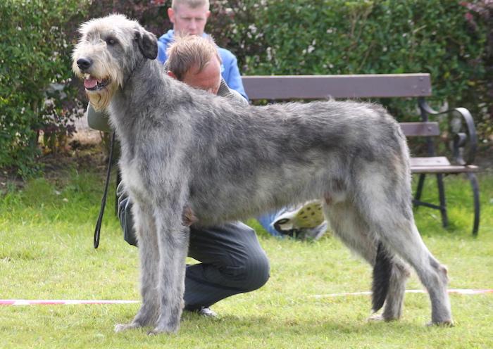 İrlanda Av Köpeği