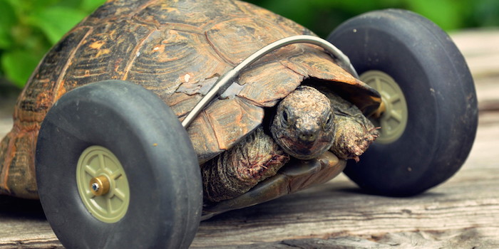 Pet tortoise whose had its legs eaten by rats, has had wheels fitted which makes her move twice as fast, in Pembroke, west Wales, UK