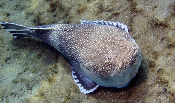 kurbağa balığı