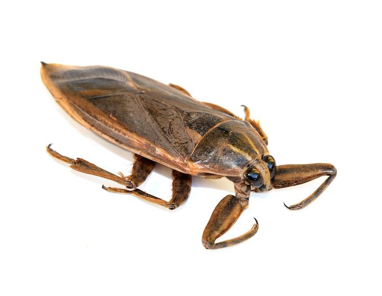 7 su böceği