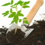 Domates nasıl yetiştirilir?