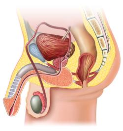 erkek üreme organları