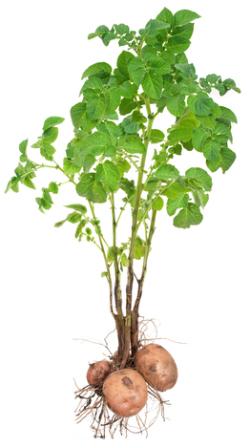 patates fidesi