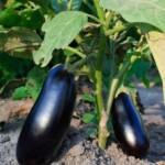 Patlıcan nasıl yetiştirilir?