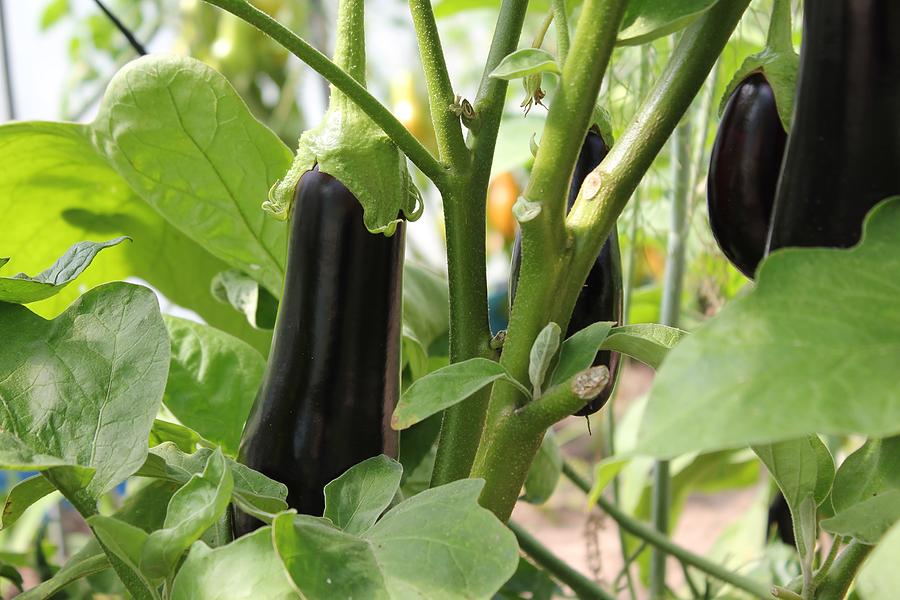 Salatalıkların doğru şekilde nasıl ekilir