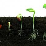 Fideler bahçeye nasıl ekilir?